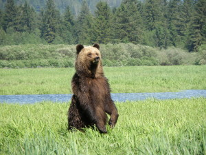 Orso grizzly, Khutzeymateen, British Columbia (Canada)