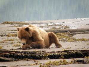 Orso Grizzly, Colombia Britannica (Canada)